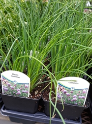 Chives - 3.5""