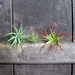 Airplants - Set of 3