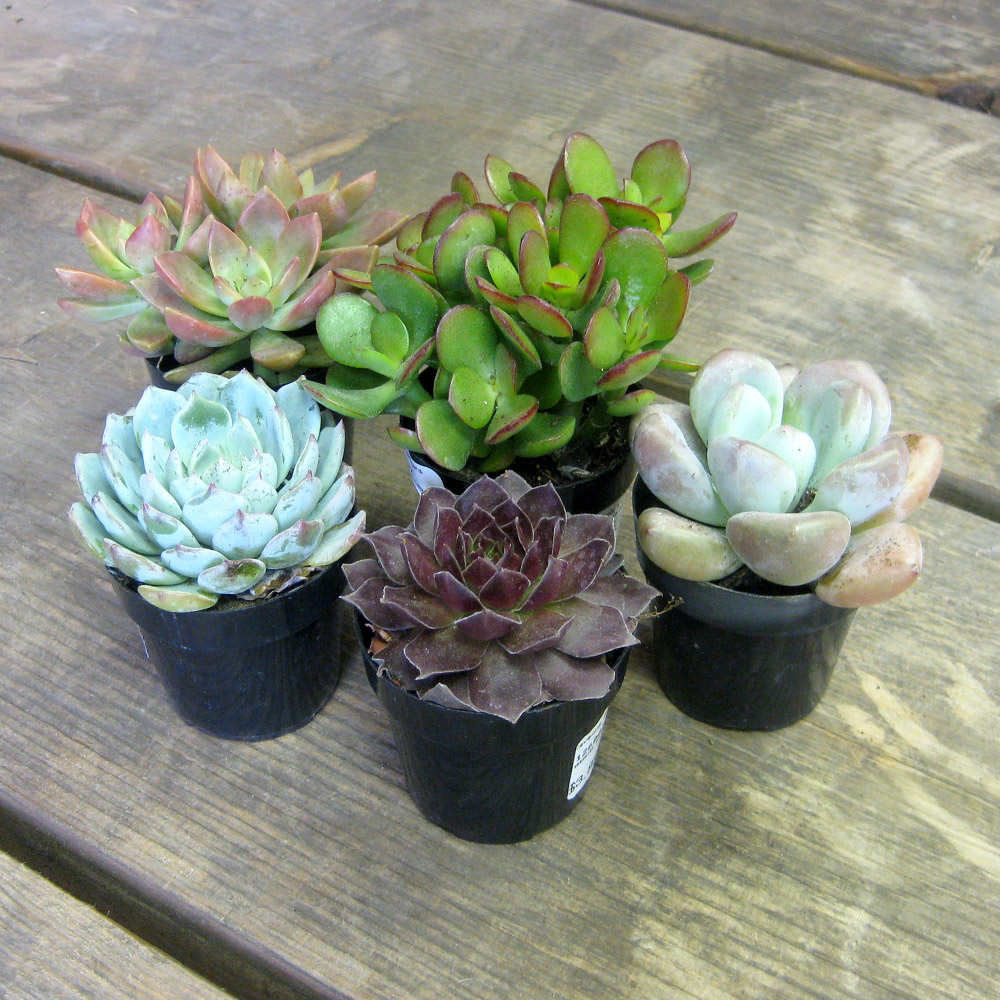 Succulents - Set of 5 - 2.5""
